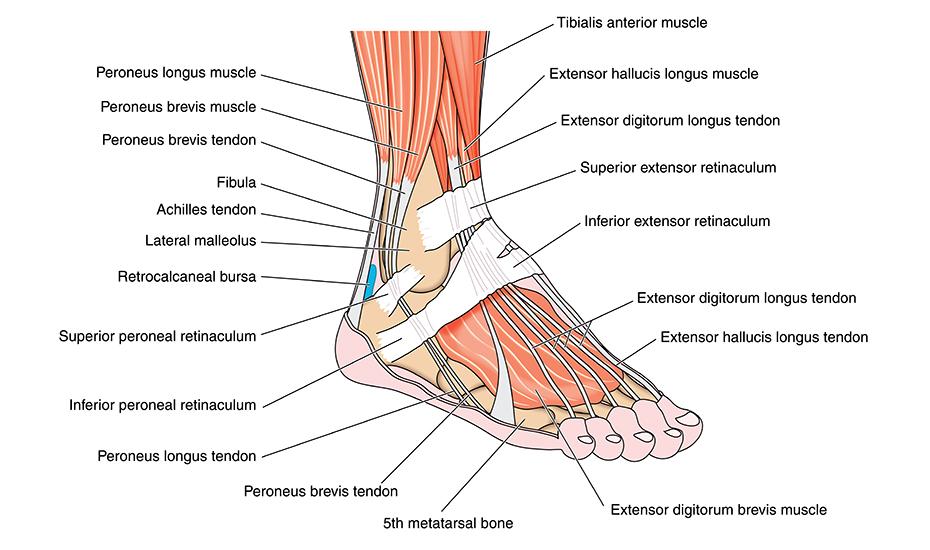 dureri la glezna piciorului