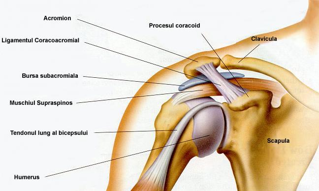 durere și articulația umărului